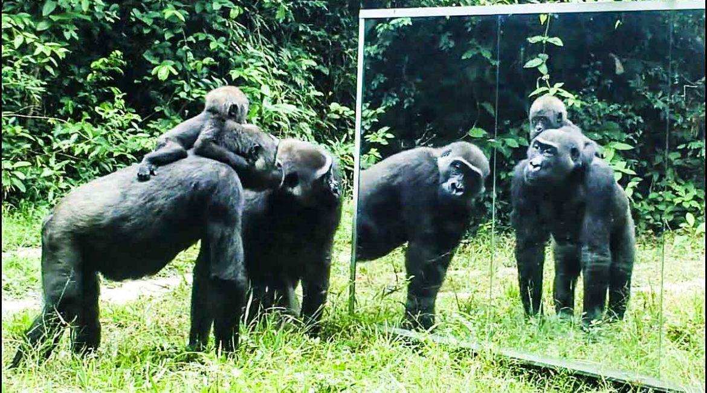 Esta es la increíble reacción de varios animales salvajes cuando se ven por primera vez en un espejo