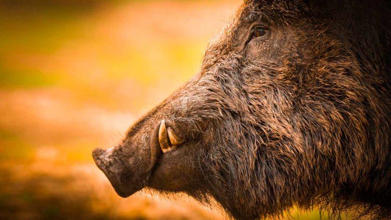 Jabalí. ©Shutterstock
