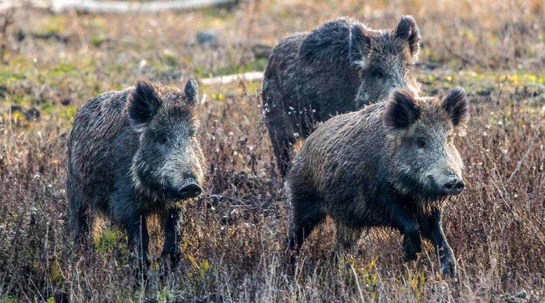 Publicada una práctica guía de inspección de subproductos y carne de caza mayor