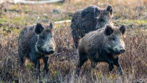 El sueño de cualquier cazador:  15 jabalíes en montería corriendo como si fueran conejos