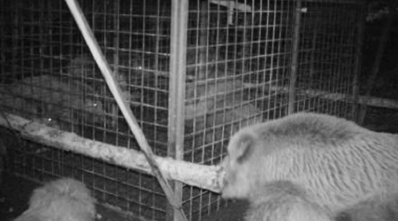 Una piara de jabalíes rescata a dos crías que habían caído en una trampa