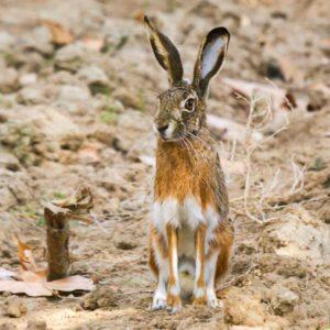 Confirman que la enfermedad hemorrágica vírica del conejo también se pasa a la liebre