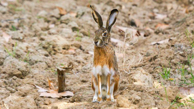 Liebre ibérica enfermedad hemorrágica vírica del conejo