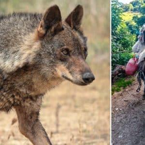 Los lobos atacan a una burra a punto de parir, sacan a su cría y la devoran en Asturias