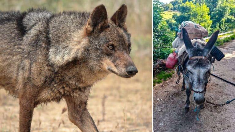 lobo y la burra atacada