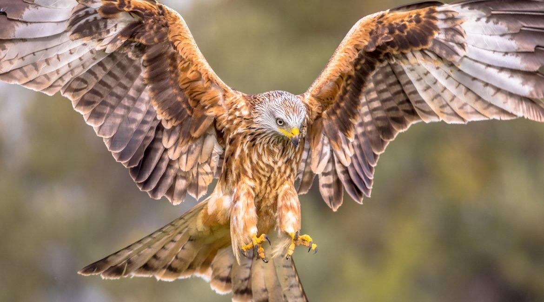 Liberan 21 milanos reales para recuperar la especie en Cazorla