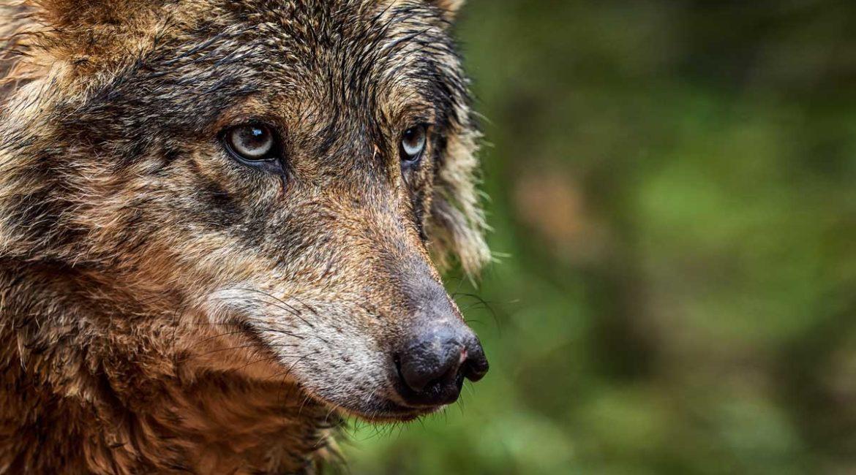 Así es el fracasado modelo de conservación del lobo en Portugal que España acaba de copiar