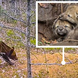 Graban por primera vez a un oso pardo atacando la guarida de dos lobos