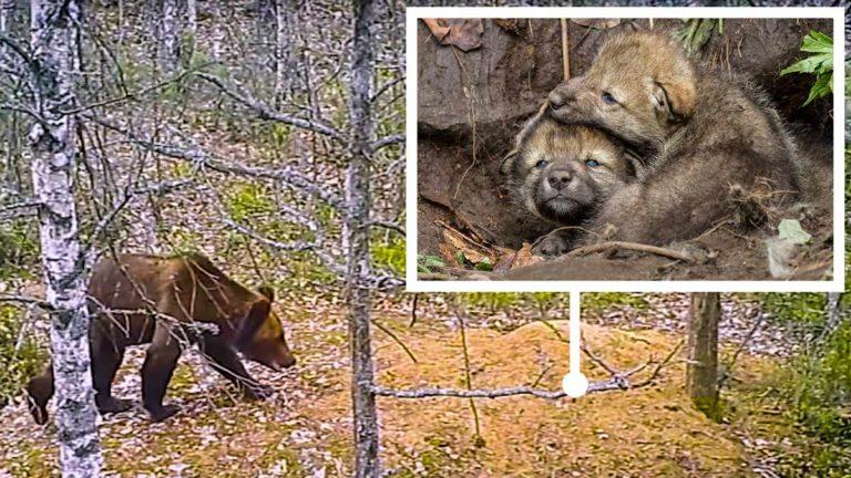 El oso tras descubrir la guarida de los lobos.