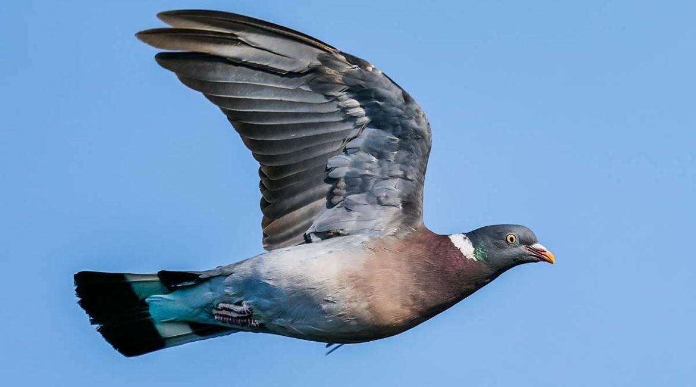 Así acabaron los ecologistas con la caza de la paloma torcaz en contrapasa