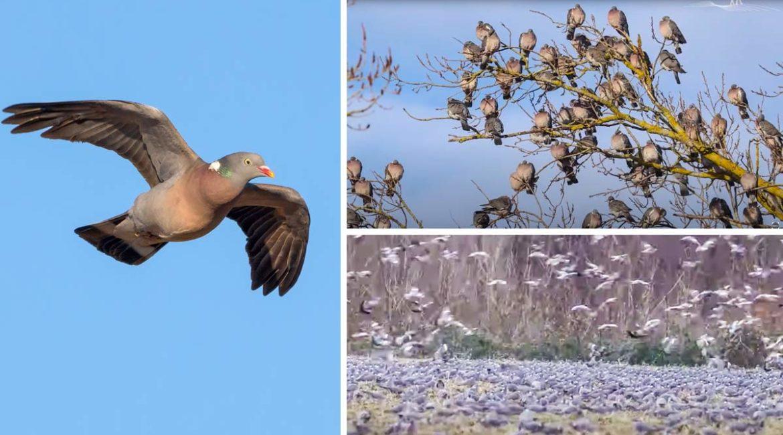Miles de palomas torcaces cubren las siembras y nublan el cielo