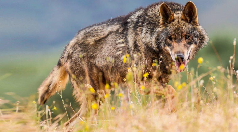 La Diputación de Huesca recurrirá la orden que prohíbe la caza del lobo