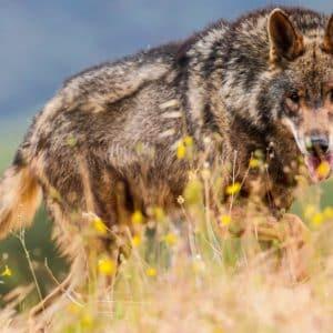 El plan ecologista para prohibir la caza del lobo ibérico