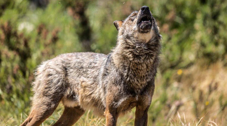 El próximo objetivo de los animalistas: reintroducir lobos en Andalucía