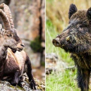 La cabra montés puede contagiar la sarna al jabalí: primer caso confirmado en un Parque Natural