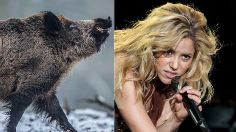 jabalíes atacan a Shakira en un parque