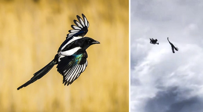 Una urraca ataca a un dron en pleno vuelo