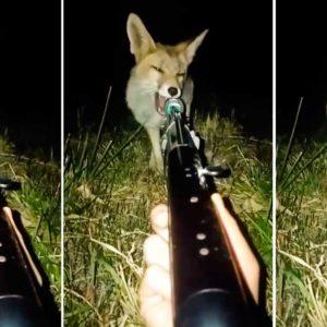 Un zorro se acerca a un cazador y muerde el cañón de su arma