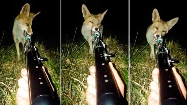 zorro muerde arma cazador