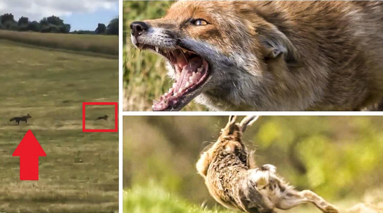 Un zorro corre una liebre como si fuera un galgo