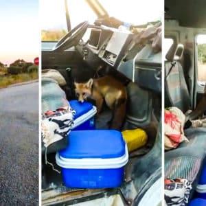Un zorro muy descarado entra en la furgoneta de unos albañiles para robarles su comida
