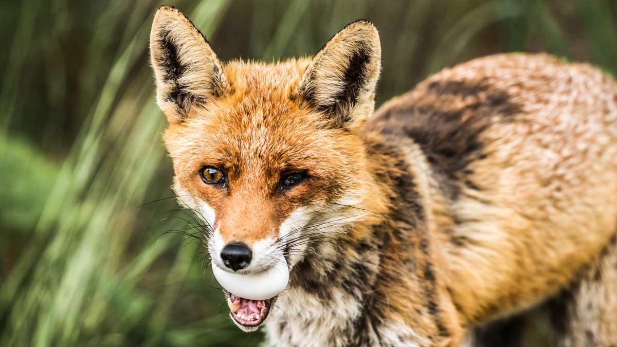 ¿Por qué es necesario cazar zorros?