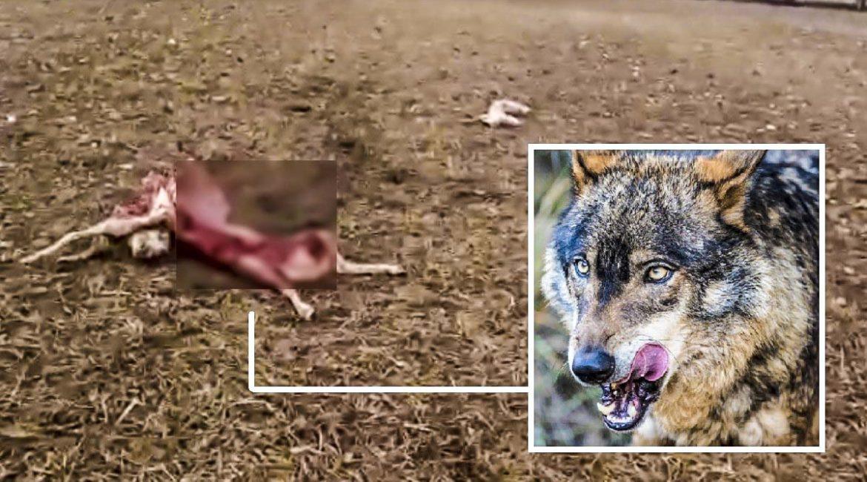Esta es la desoladora escena que un pastor se ha encontrado tras un ataque de lobo
