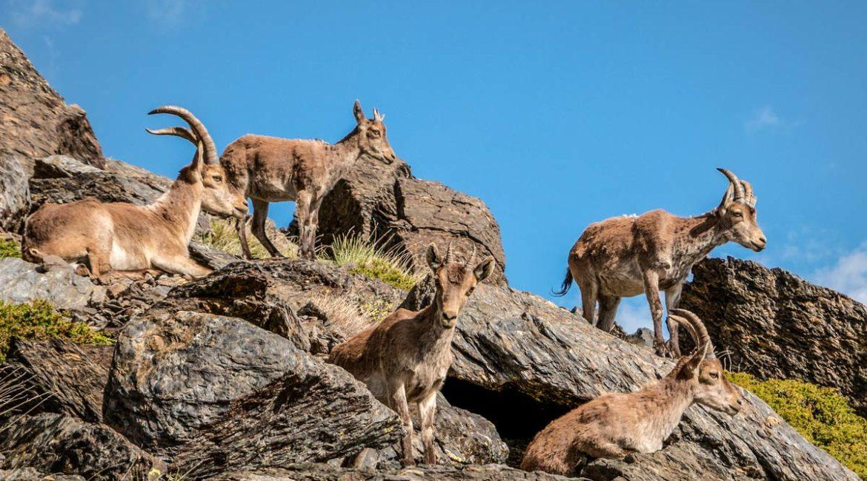 Descubren híbridos de cabra montés y doméstica en España