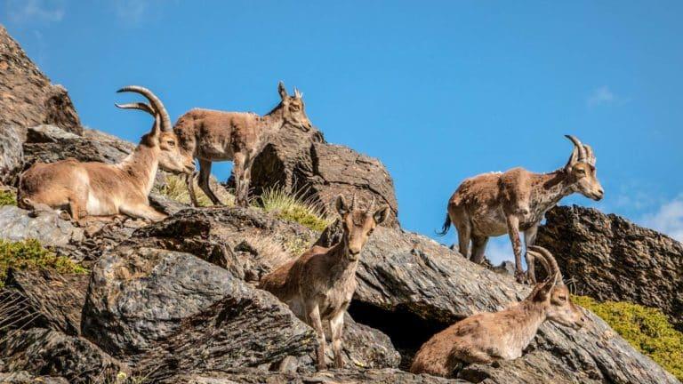 Cabrada de monteses. © Shutterstock