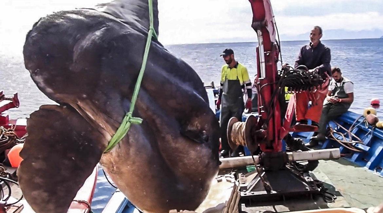 Pescan en Ceuta un titánico pez luna que podría pesar dos toneladas