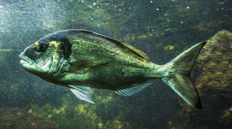 Pescar doradas a spinning: cómo engañar con un señuelo a este astuto pez en nuestras costas