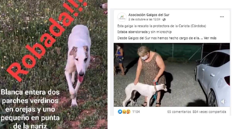Galgos del Sur usa una perra robada para pedir donativos y es investigada por la Guardia Civil