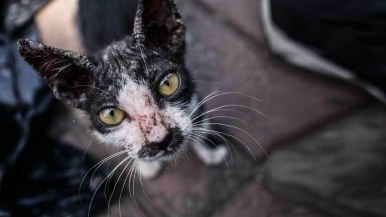 Gato callejero enfermo. © Shutterstock