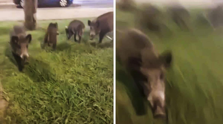 Un jabalí ataca a un hombre en un parque cuando intentaba grabarlo