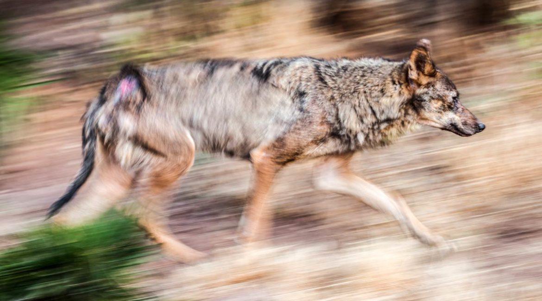 El lobo ibérico se extiende tanto que ya ha llegado al sur del Ebro