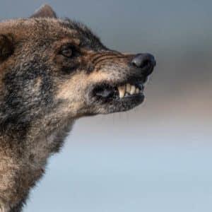 Animalistas proponen capturar lobos y esterilizarlos para controlar sus poblaciones