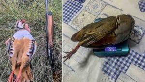 Caza una enorme hembra de perdiz roja de casi 600 gramos en Castellón