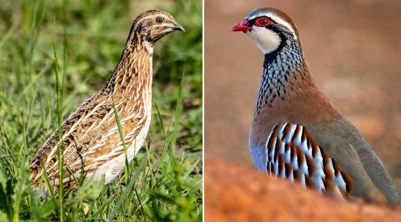 Perdiz roja y codorniz son declaradas «casi amenazadas» en la Lista Roja Europea de las Aves