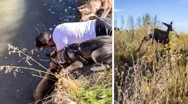 Un pescador salva la vida a una corza que había caído en un canal: «Es una trampa mortal»