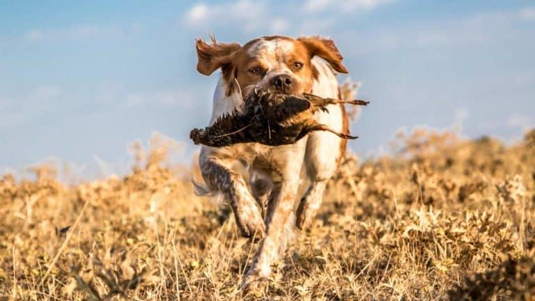 Perro de caza cobrando. © Israel Hernández