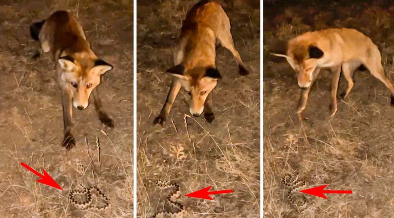 Un zorro intenta cazar a una víbora ante la atónita mirada de un conductor