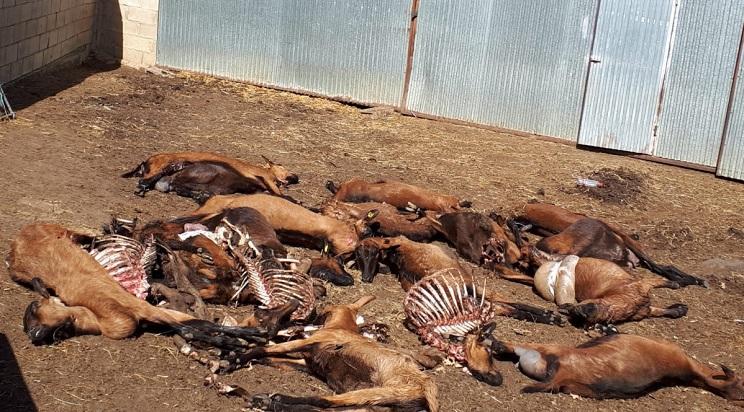 Una manada de lobos mata 30 cabras preñadas en León