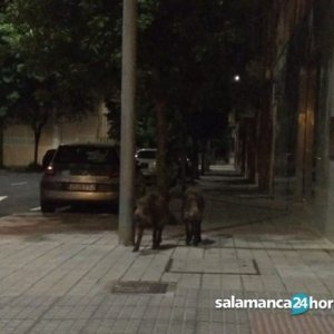 Fotografían a jabalíes deambulando por las calles de Salamanca