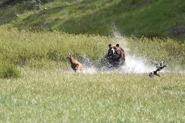 Un oso devora a un cervatillo ante los ojos de su madre y se convierte en viral