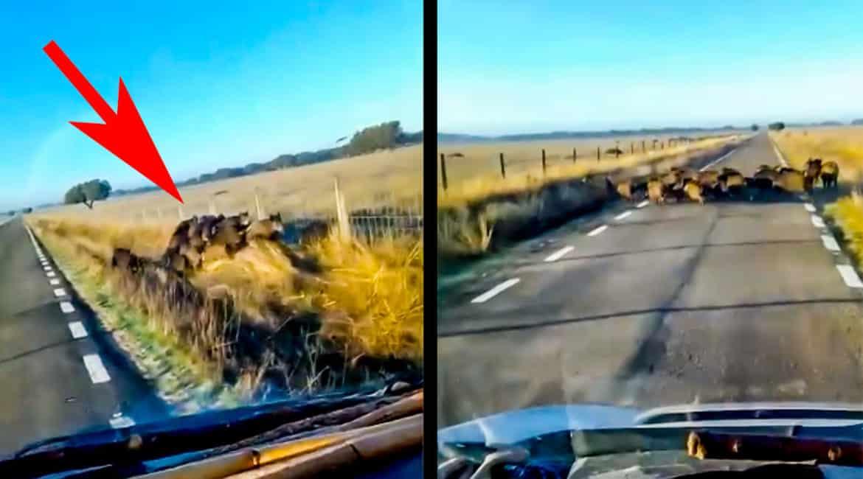 Una piara de casi 30 jabalíes cruza una carretera de Salamanca cuando un coche se aproxima