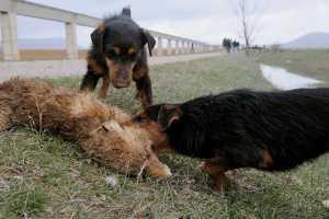 Caza del zorro en pajares