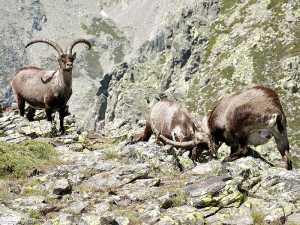 conteo de cabra montes