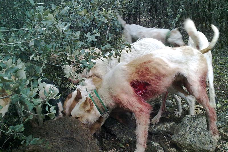 Cómo socorrer a nuestro perro herido por un jabalí