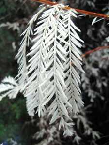 450px-albino_redwood