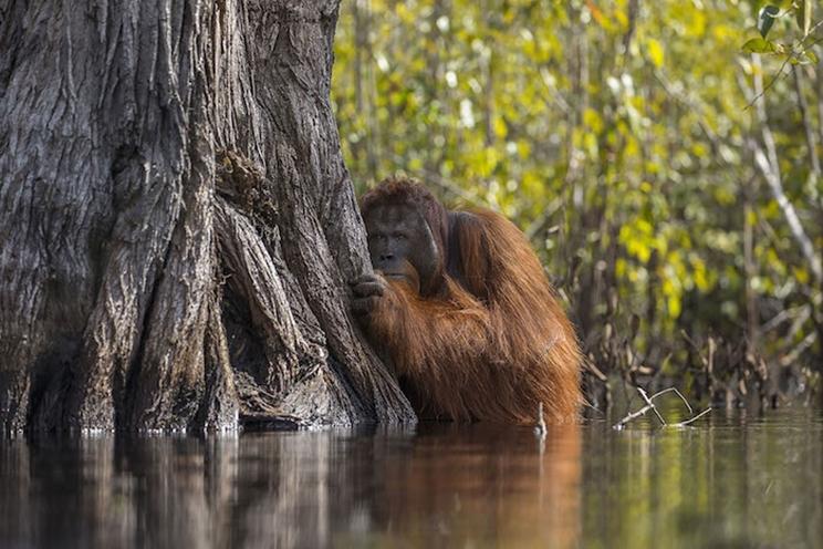 Un orangután macho observa desde atrás de un árbol mientras cruza un río en Borneo, Indonesia / Fotografía: Infobae
